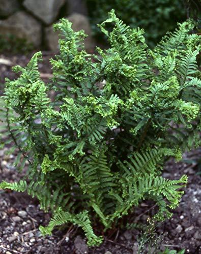 10 x Dryopteris affinis 'Crispa Congesta'(Ziergras/Farn) krauser Goldschuppenfarn